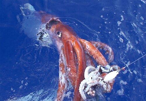 대왕오징어 오징어 큰오징어 못생김 못생긴 너희들 왕오징어 심해 괴물