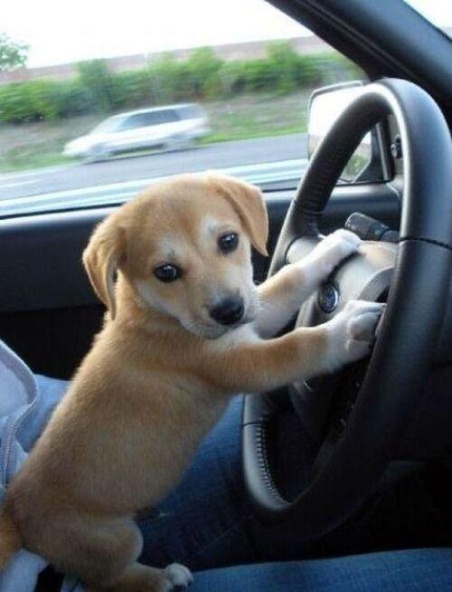 개 운전 당황
